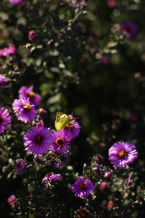 Yellow butterfly on violet chrysanthemum bush in autumn garden.