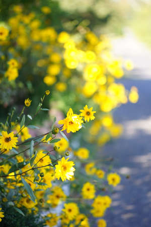 Sunny yellow flowers grow in the summer garden by the road.