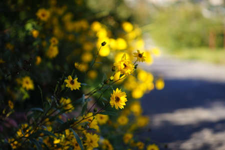 Yellow flowers grow in the summer garden by the road.