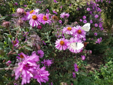 Two white butterflies sit on chrysanthemum flowers in the autumn garden Фото со стока