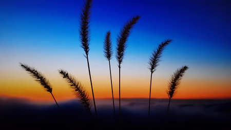 Silhouettes of ears of corn in a blue orange sky at dawn.