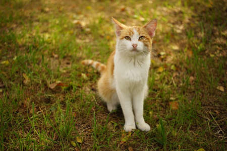 Portrait of a young ginger white cat in autumn garden Фото со стока