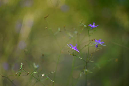 Tender blue flowers grow in the wild summer garden