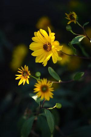 Sunny yellow flowers grow in the dark summer garden.