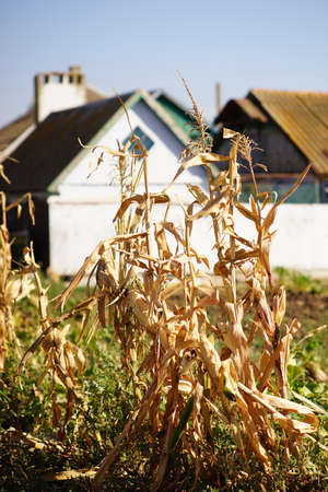 Dry corn grows in an autumn field against the background of a rural house. Фото со стока