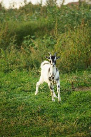 Black white goat grazes on green grass in summer field.