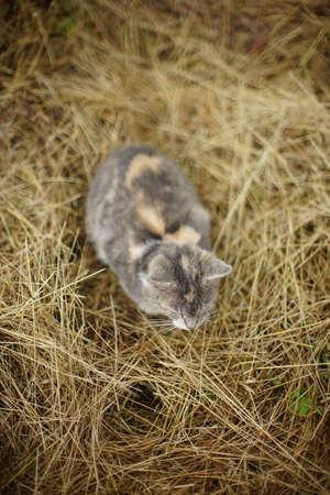 Gray cat sleeps on dry hay in the garden. Фото со стока