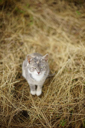 Gray cat sits on dry hay in the garden. Фото со стока