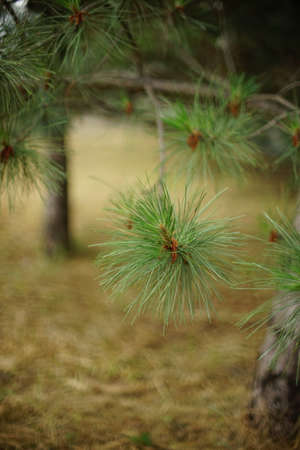 Pine forest with trees. Closeup green branch. Botanical art card.