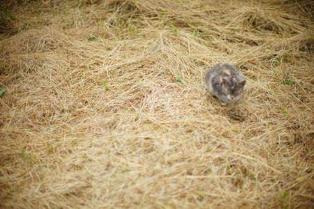 Gray cat sleep on dry hay in the summer garden. Фото со стока