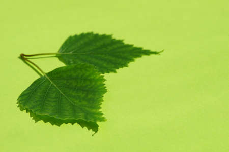 Two fresh green birch leaves on a sunny lime table with shadows