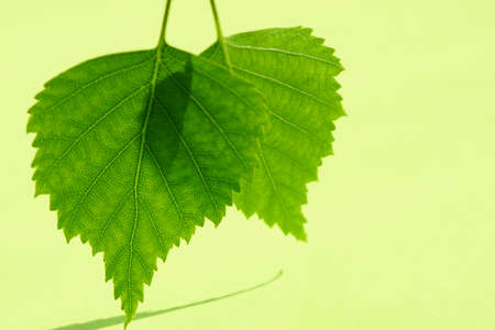 Two fresh green birch leaves over bright green table.