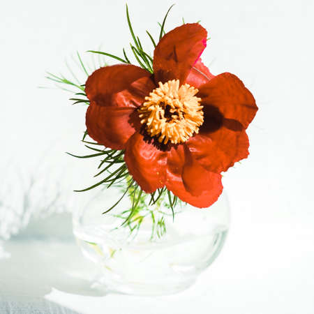 Opened red peony flower in a vase on white sunny table.