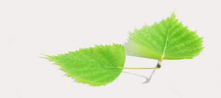 Two fresh green birch leaves on a white sunny table