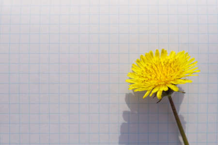 Yellow dandelion flower on a sunny checkered notebook paper. Фото со стока