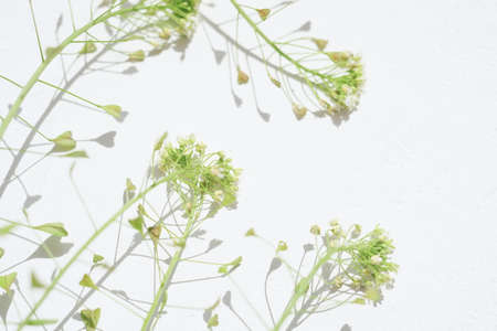 Stems of a shepherd's purse plant on a white table. Art herbal card.