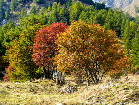 bardonecchia: Red cherry tree and yellow larch at fall in the italian Alps