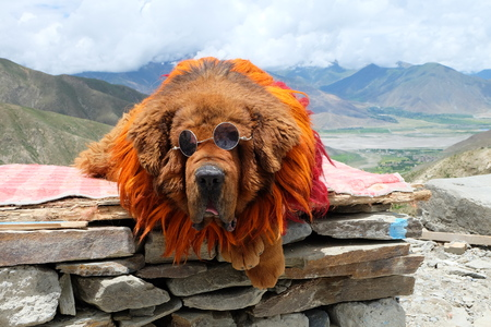 Tibetan Mastiff Stok Fotoğraf