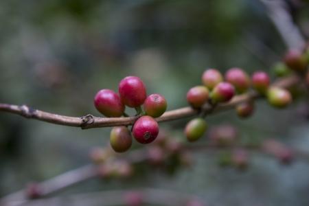 Coffee beans , cherries  Stock Photo - 25487062