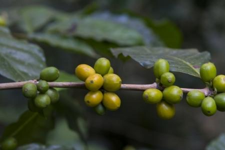Coffee beans , cherries  Stock Photo - 25487063