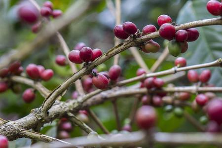Coffee beans , cherries  Stock Photo - 25487287