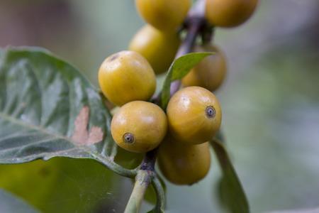 Coffee beans , cherries Stock Photo - 25487290