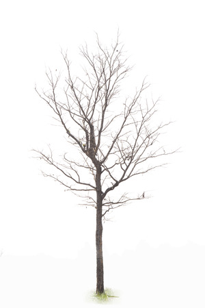 near death: A single Tree isolated on white  Stock Photo