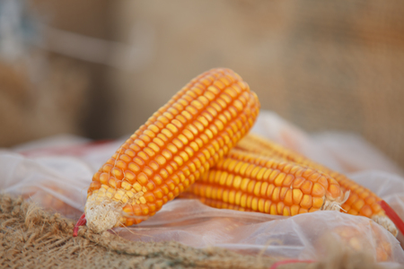 Corn for animal feed. Stock Photo