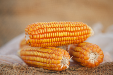 produits alimentaires: Corn for animal feed. Banque d'images