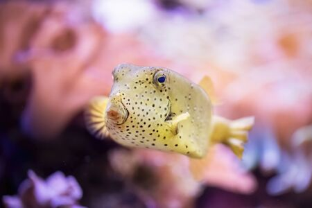Yellow balloon fish in the aquarium with a colorful background. Tropical on a coral reef.