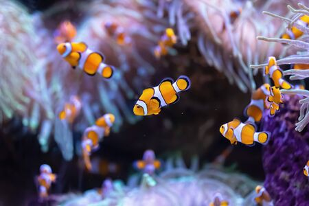 Several colorful clownfish on a tropical coral reef. (Amphiprioninae)