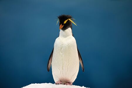Yellow plume penguin on the ice posing on a blue background. It's an animal that belongs to the birds