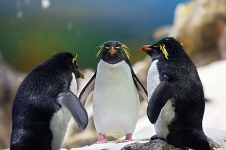 Three yellow plume penguins in the cold Antarctica. It's an animal that belongs to the birds