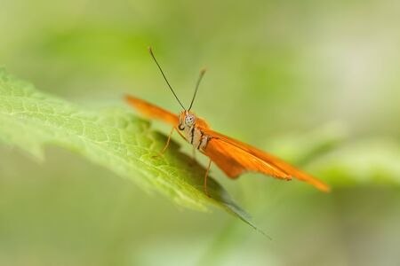 Julia butterfly resting on a leaf (Dryas iulia). Close-up. Light green background