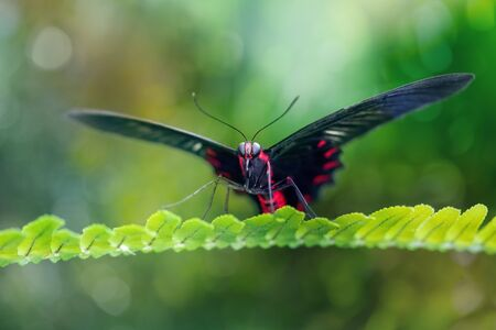 Scarlet mormon butterfly resting in a natural environment on a leaf (Papilio rumanzovia). Close-up. Blurred green background