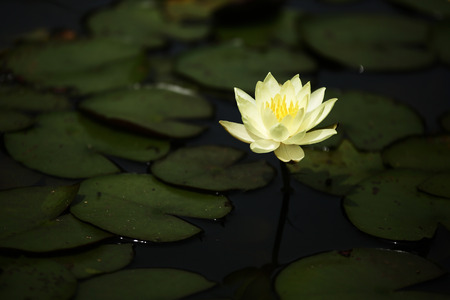 waterlilly: Closeup low light yellow lotus flower in the lake Stock Photo