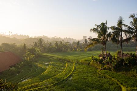 Beautiful sunrise scenery in the morning at greenery of rice terrace in Ubud, Bali