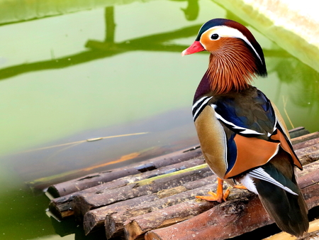 standstill: mandarin duck standstill on woodenbridge waterside