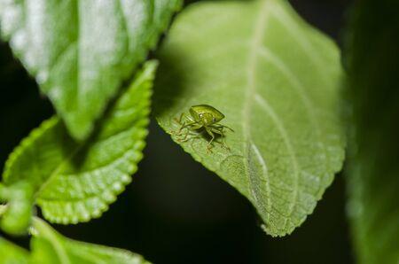 stink: stink bug