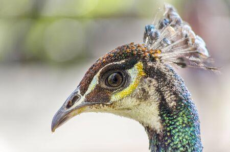 pavo: closeup of a peacock