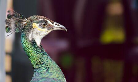 swagger: closeup of a peacock