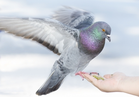 a pigeon feeding off a hand with seeds Stock Photo - 17606158