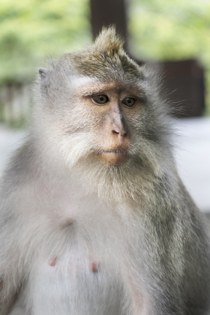 portait of a wild monkey closeup  photo