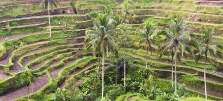 Rice terrace in Bali which the farmers justed harvested the crops