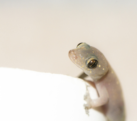 closed up of an isolated Gecko lizard