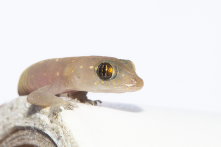 head stones: closed up of an isolated Gecko lizard
