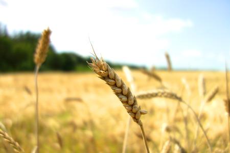 grain fields: Ears of wheat against the sky