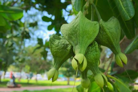 barringtonia: Fruit of the fish poison tree or sea poison tree. Stock Photo