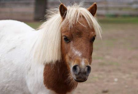 portrait of cute brown and white mini shetland pony