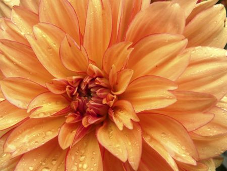Dahlia, apricot colored with red picotee edge, with raindrops, macro